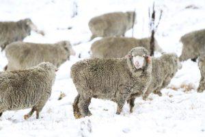 merino uld får
